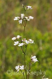 Penstemon multiflorus, Many-flowered Beardtongue; Franklin County, Florida  2013-05-25  #2