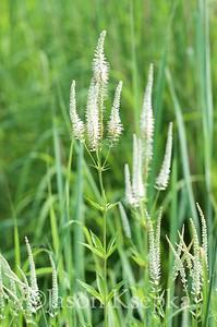 Veronicastrum virginicum, Culver's Root; Bucks County, Pennsylvania 2015-07-13   2