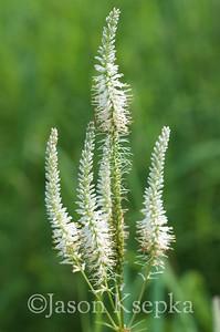 Veronicastrum virginicum, Culver's Root; Bucks County, Pennsylvania 2015-07-13   3