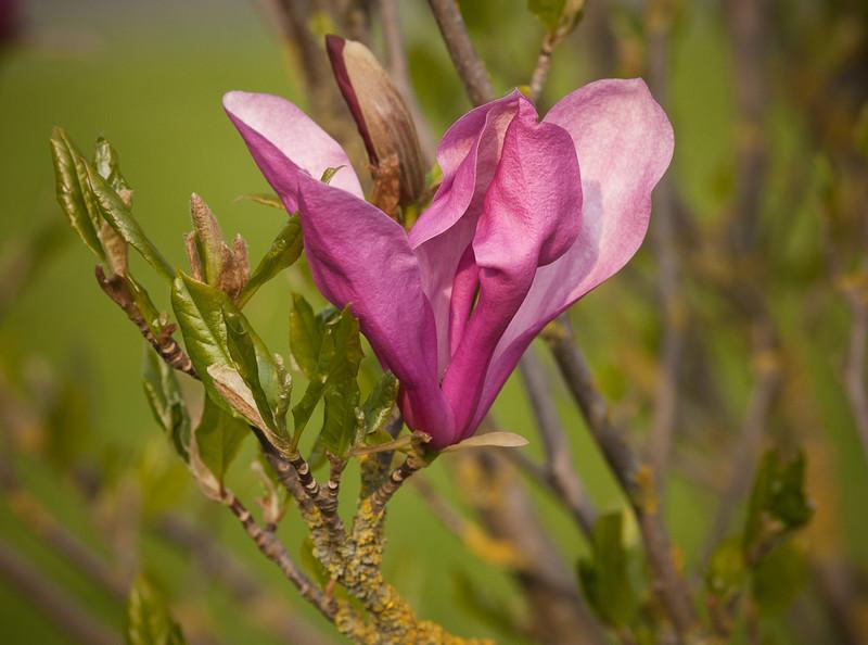 Magnolia liliiflora flower.