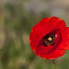 Poppy. 2011 was a great year for them around here.