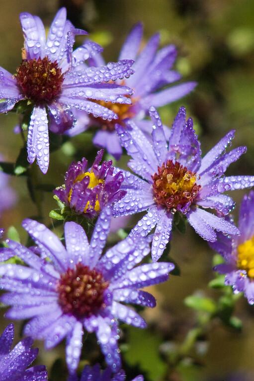 Purple Flowers with Dew