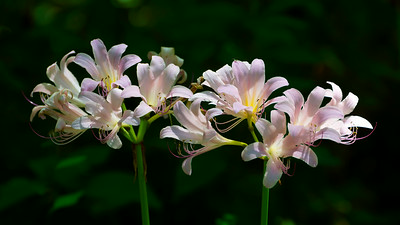 DX7674 pink lilies