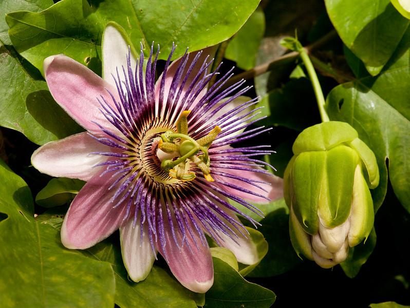 """Passion flower <i>(passiflora × belotti)</i>. <a href=""""http://www.wereldtuinenmondoverde.nl/index.php?id=18"""">Mondo Verde</a>, Landgraaf, Netherlands."""