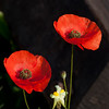 Poppies. 2011 was a great year for them around here.