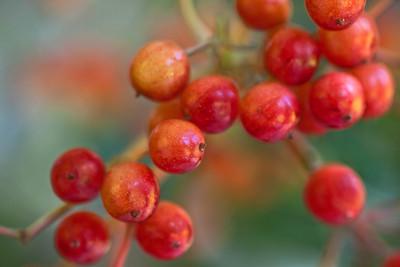 Viburnum Berries 3