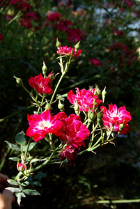 The red viney roses are nearing their last blooms.