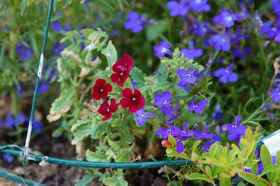 Little red  flowers--verbena, I believe--and lobelia.