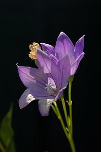 Big purple flowers on very long stems.  (Maybe balloon flower, Platycodon grandiflorus?)