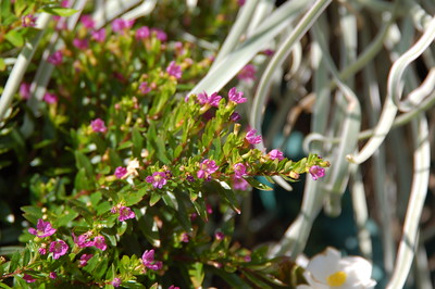 """Planted just in the last month. False heather """"Lavender Lace""""; Breso Falso/cuphea rosea."""