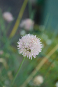 Chives. Not many blooms today.