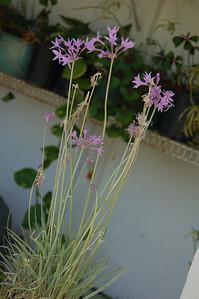 Ornamental garlic.