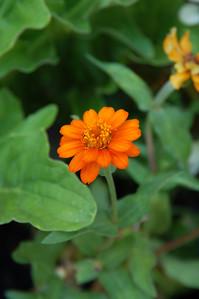 Big orange flower. Zinnia. Newly planted.