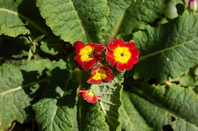 Amazingly, there are also a couple of primrose still happily blooming, despite the sun and heat.