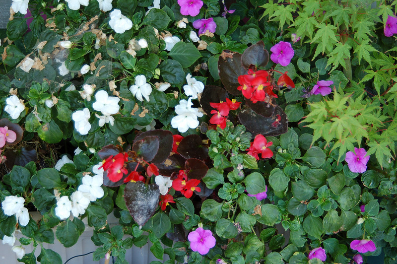 Impatiens (white and pink) and begonias (red). They go almost all year round, until a couple of hard frosts knocks them back. Begonias usually come back the next spring; some impatiens bloom all year round in a couple of sheltered areas in my yard.