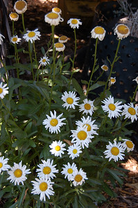 Marguerite (or shasta) daisies. Flowers 5-6 cm.Most other places in the yard, the blooms have all gone past their prime (like the ones at the top, here), but in this corner of the yard, still happy.