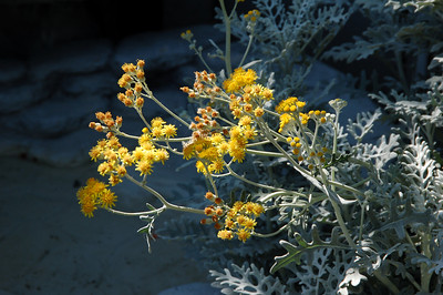 Dusty miller.  I whack these back constantly, so they don't always get to bloom.
