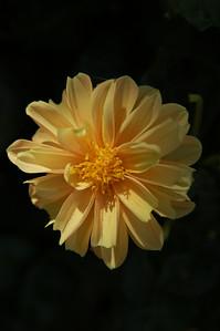 Big yellow flower. Dahlia?