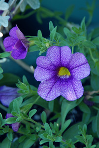 A deep purple thing I planted a month ago. (I'm having trouble with photoshop and deep purple flowers this year. Don't know why. They're all turning pinkish.) Calibrachoa.