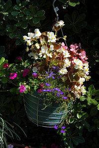 More impatiens and begonias; this is mostly to show that lobelia would be blooming like crazy everywhere if it weren't all getting eaten right down to the stem base as soon as I plant it, and I don't know what's eating it.