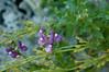 Little purple flowers. Nemisia.