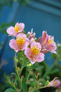Peruvian lilies. These go through most of the spring and summer and even at other odd times of the year.