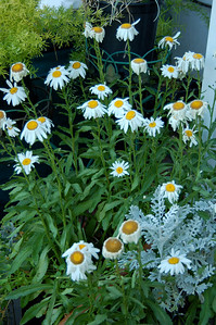 Marguerite (or Shasta) daisies.