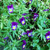 Pansies are still blooming in several places in the yard. (These are probably Johnny Jump-ups; got them from my sister.)