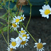Small daisies--these are maybe dime sized or quarter sized--1-2 cm.