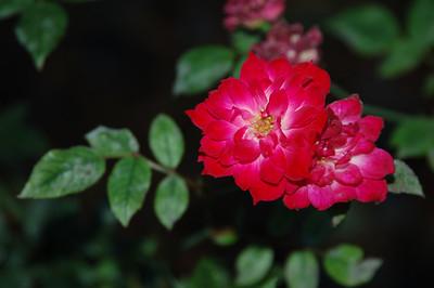 Same roses.