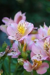 Peruvian lilies.
