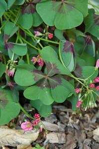 "Oxalis tetraphylla.  (""iron cross sorrel"")"