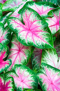 Westminster Caladium  001