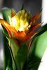 <b>Bromeliad</b>  (April 13, 2008)