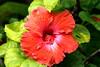 <b><i>Hibiscus</i></b>  (December 16, 2008)