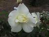 rose-white