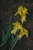irises-yellow, Flagstaff