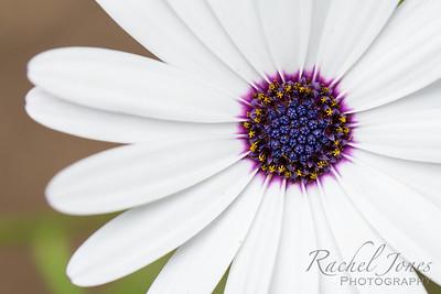 Daisy-7325