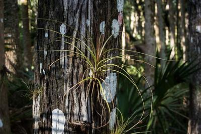 Broad Needleleaf Bromeliad