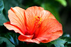 """<b><i>Hibiscus</i></b>  (July 7, 2008)  The tropical hibiscus belongs to the Malvaceae or mallow family. Other relatives are the rose-of-sharon (shrubby althea), the hardy hibiscus grown in the north, okra, cotton, the Confederate Rose, hollyhock and quite a few others.   Originating in Asia and the Pacific islands, <i>Hibiscus rosa-sinensis</i> is the national flower of Malaysia. It is closely associated with Hawaii, however the state flower for Hawaii is a native species of hibiscus, <i>H. brackenridgei</i>. Thousands of colors and combinations of colors (no true blue or black), some varieties have blossoms 2"""" in diameter and others, 10-12"""". Some with bushes that will only grow a foot in several years while others may grow to 15 feet if left undisturbed in the ground. Singles, doubles, some blooming almost every day, the variation in the tropical hibiscus family is astounding!  This hibiscus is growing in a pot."""
