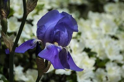 Blue iris II