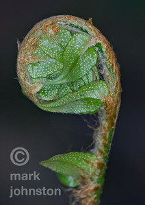 A fiddlehead rises from the forest floor along the Izu Peninsula's Jyogasaki Coast, Shizuoka Prefecture, Japan.