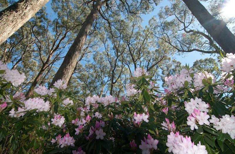 Rhododendruns, Adelaide Botanic Garden, Australia