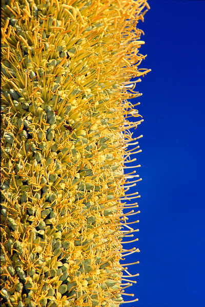 Mexican Agave Flower Head