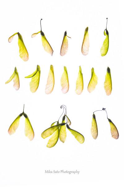 Acer samara fruits 2