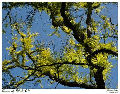 Trees of Filoli 04  Sunburst Honey Locust.  Filoli, 28 April 2012