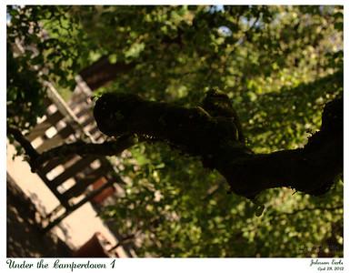 Under the Camperdown 1  Filoli, 28 April 2012