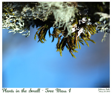 Plants in the Small - Tree Moss 1  Filoli, 23 February 2013