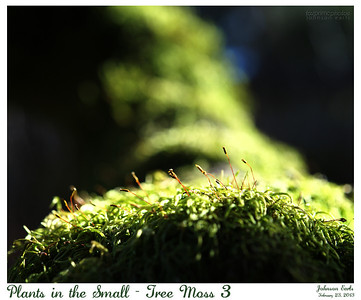 Plants in the Small - Tree Moss 3  Filoli, 23 February 2013