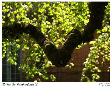Under the Camperdown 2  Filoli, 28 April 2012